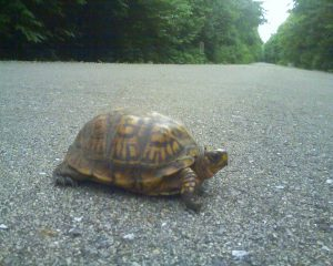 Turtle on the Greenway