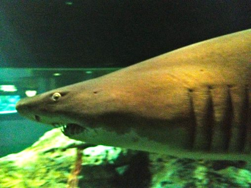 Shark at the National Aquarium